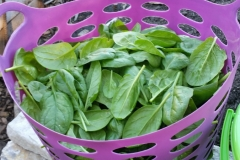 basket of spinach fall 2018
