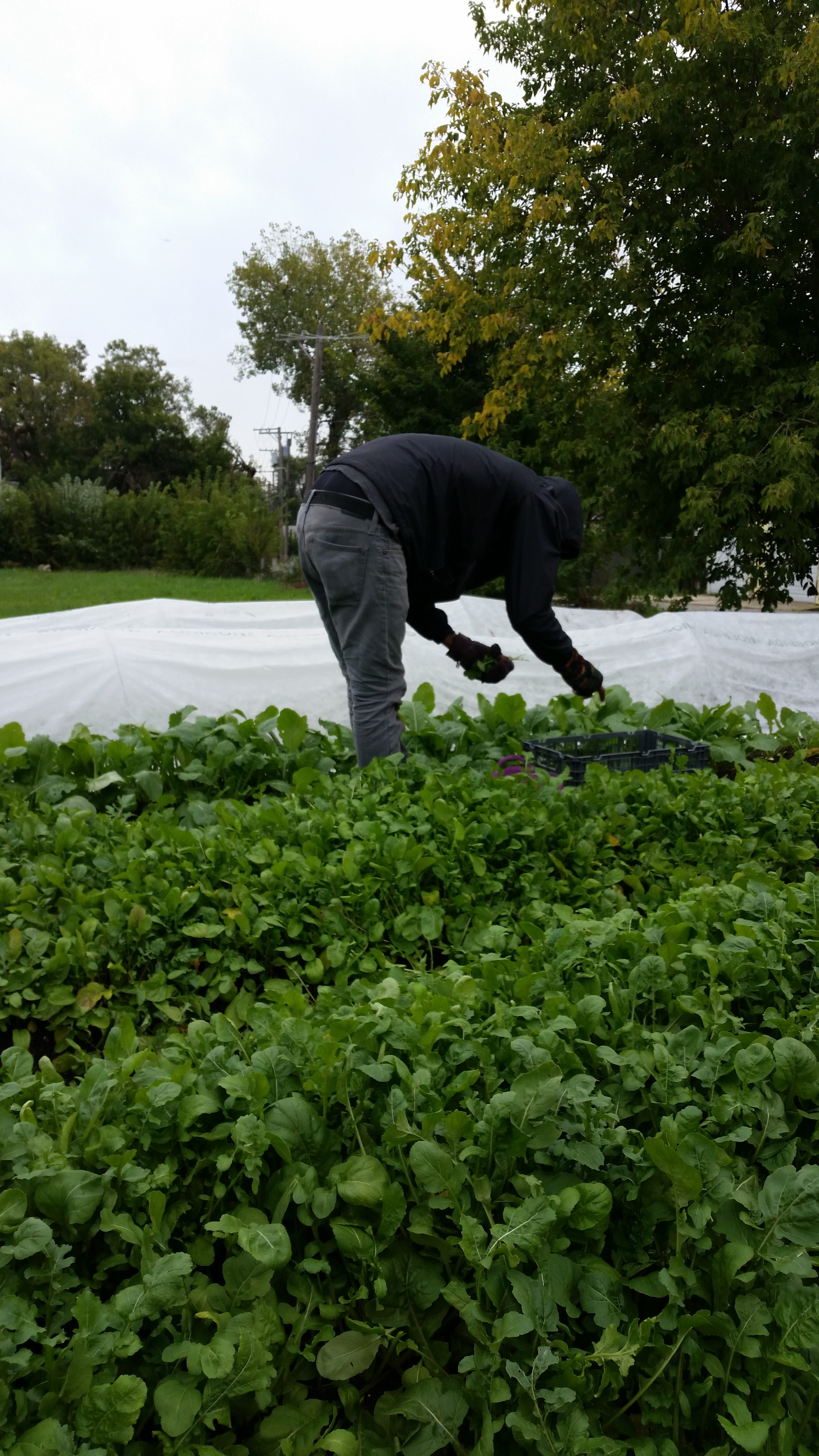 harvesting spinach - fall 2018
