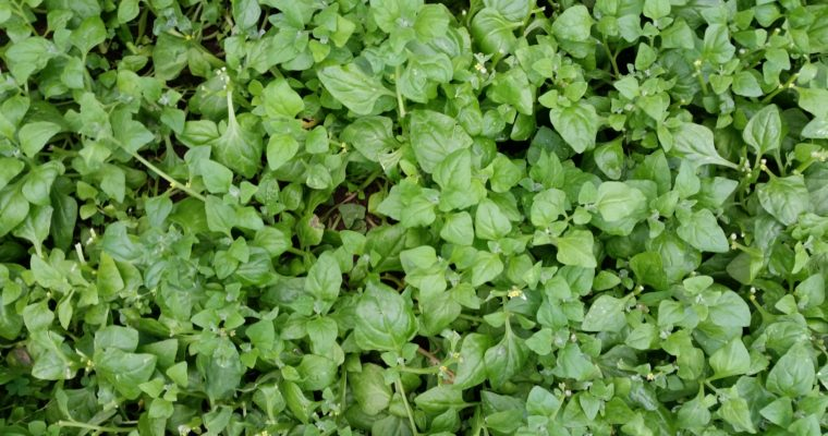 What Is New Zealand Spinach?