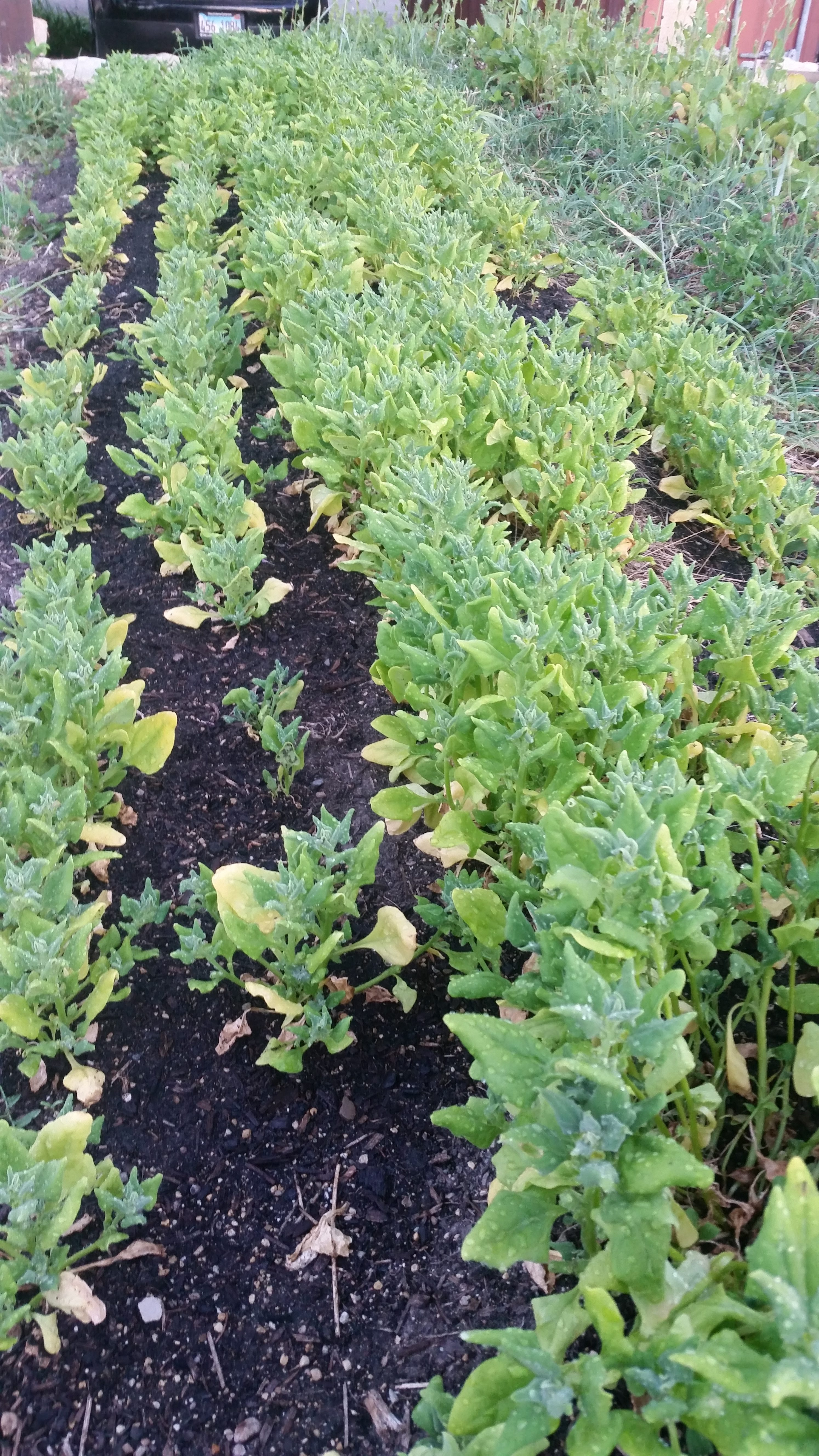 New Zealand Spinach mid-July 2019